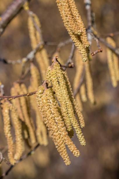 Haselnussbaum mit vielen großen gelben Haselnusspollen – Foto