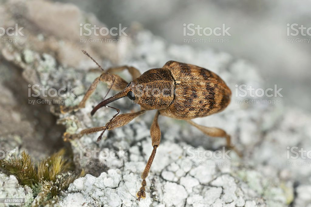 Hazelnut weevil Curculia nucum on wood, macro photo stock photo
