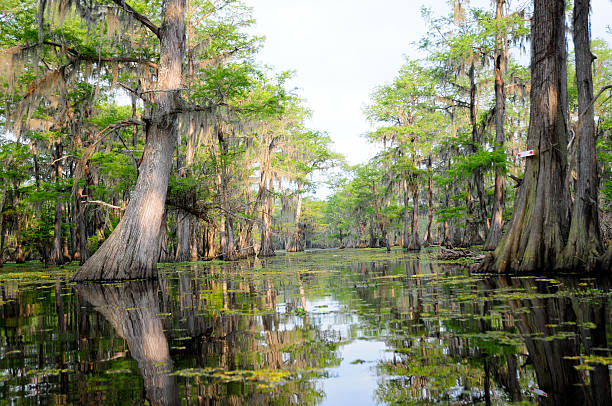 hazy day in the swamp - bald cypress tree stockfoto's en -beelden