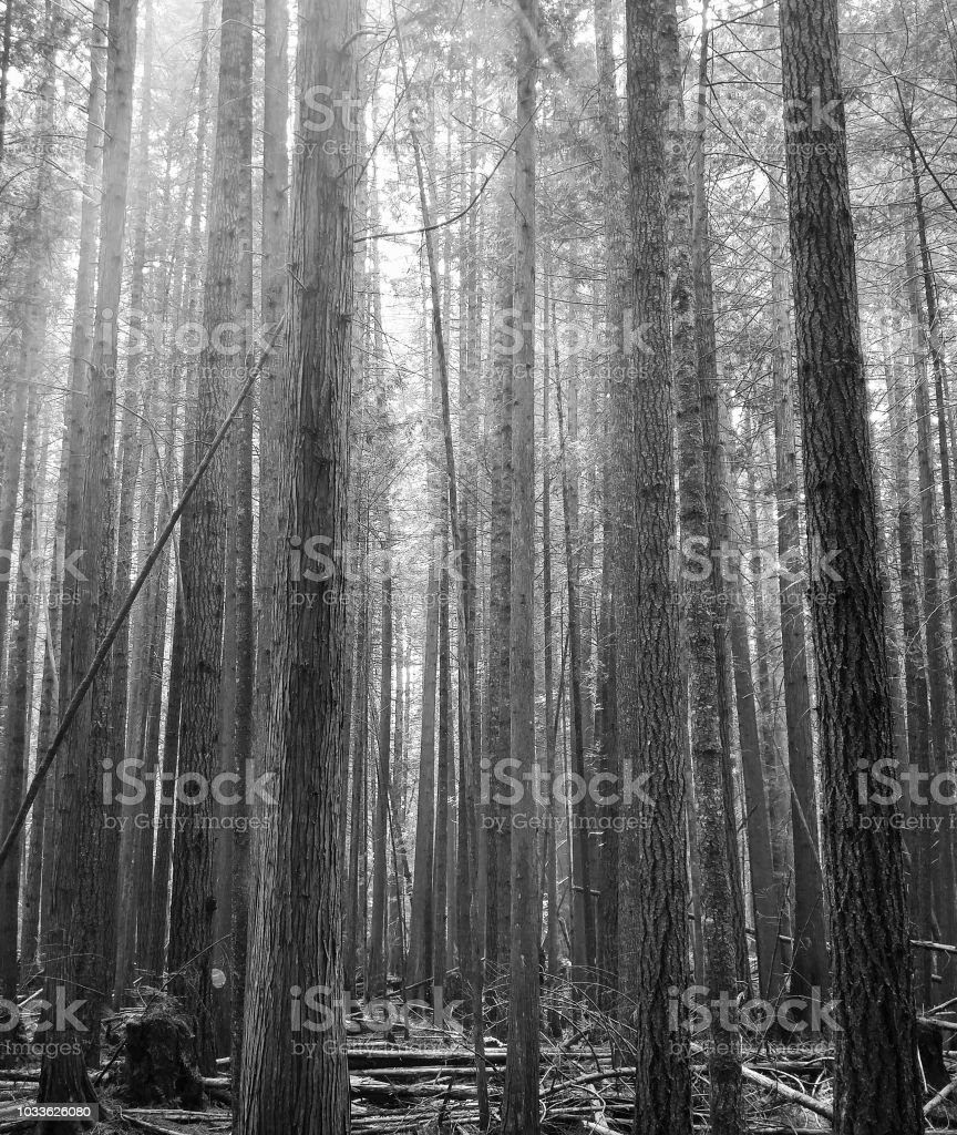 A hazy, smoky forest in dramatic effect stock photo