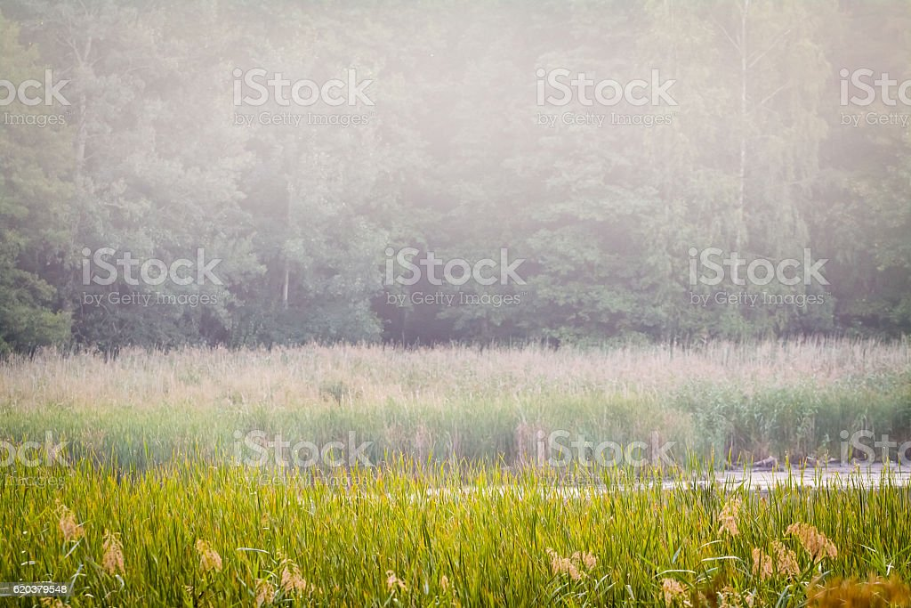 Hazy wetlands and forest wall landscape. zbiór zdjęć royalty-free