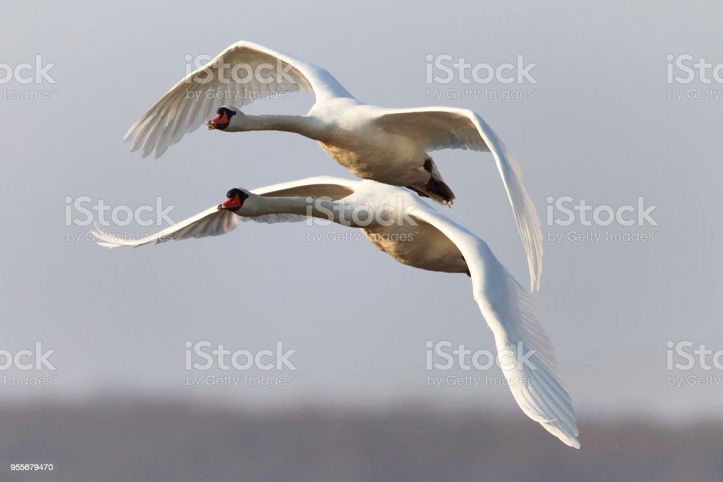 Höckerschwäne   Mute Swans stock photo