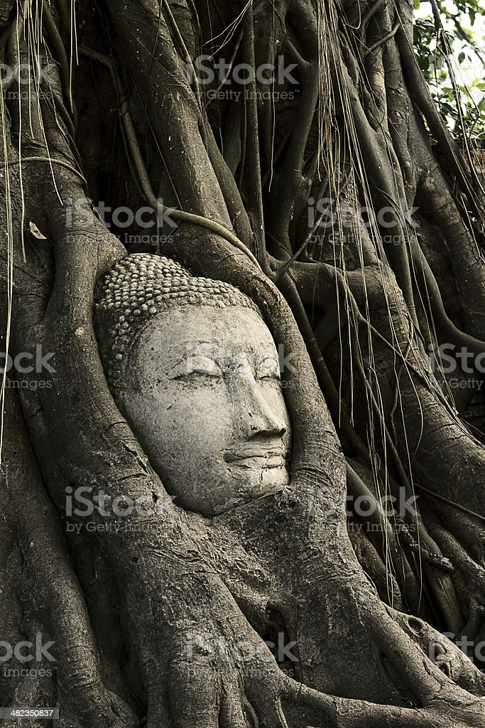 Ancient Buddha head The roots are covered by Bodhi. Wat Mahathat,...