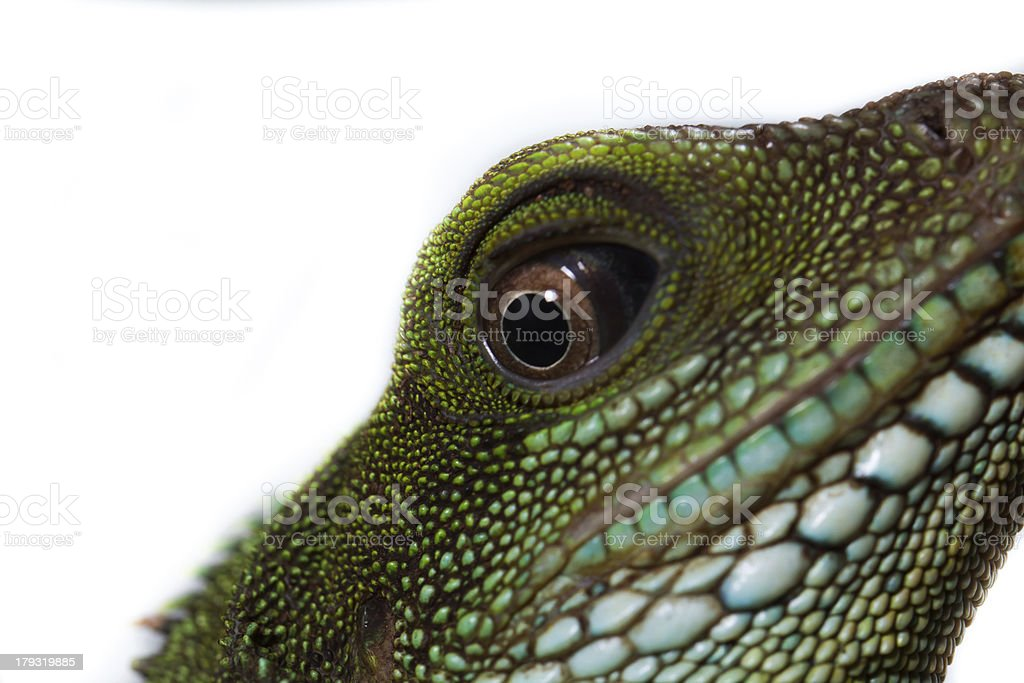 Head and eye of an adult agama (Physignathus cocincinu) royalty-free stock photo