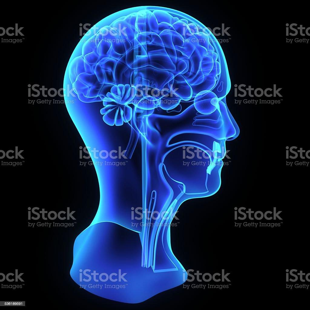 Kopf Und Hals Anatomie Stockfoto 536189591   iStock
