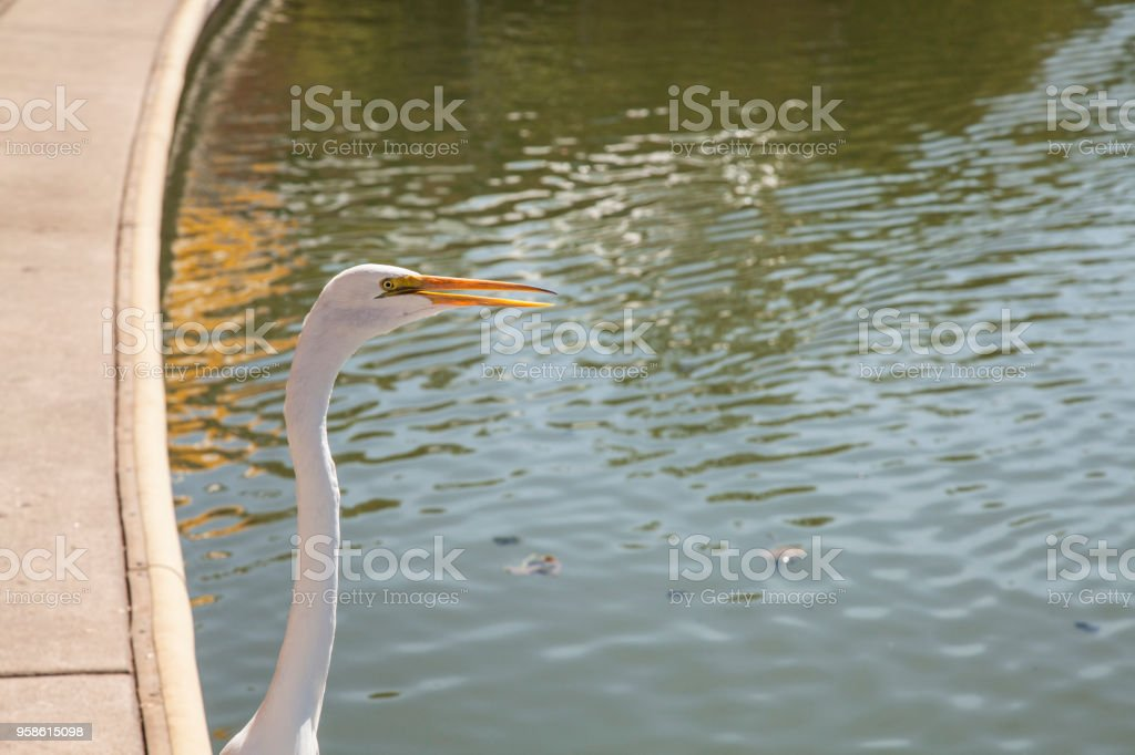 head and neck of white egret stock photo