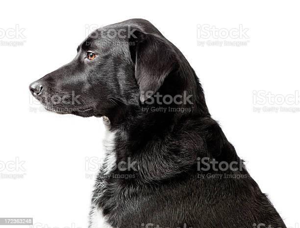 Head and shoulders dog portrait picture id172363248?b=1&k=6&m=172363248&s=612x612&h=qhirxvsnsvwebjpb8kd7oiedlkwkb4auitjo eaa1mi=