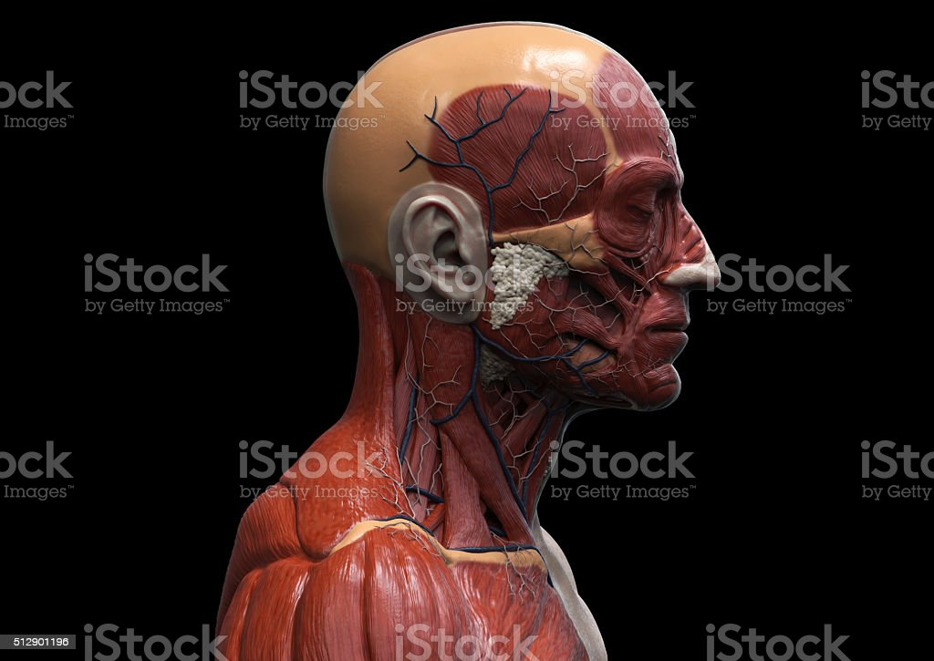 Head and torso anatomy stock photo