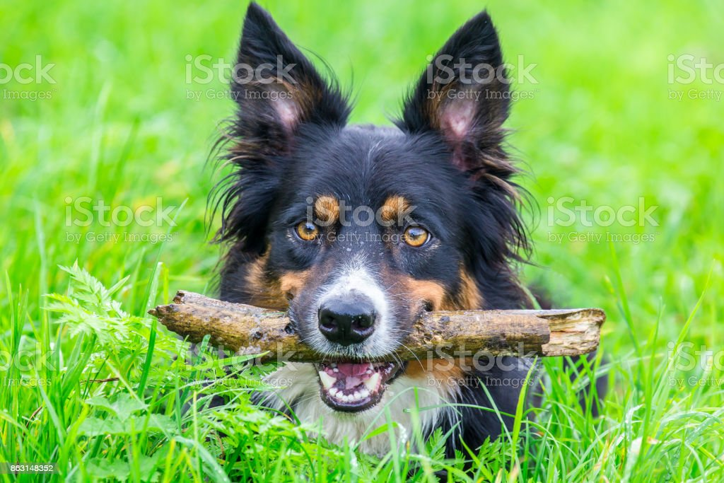 Head border collie with stick in beak stock photo