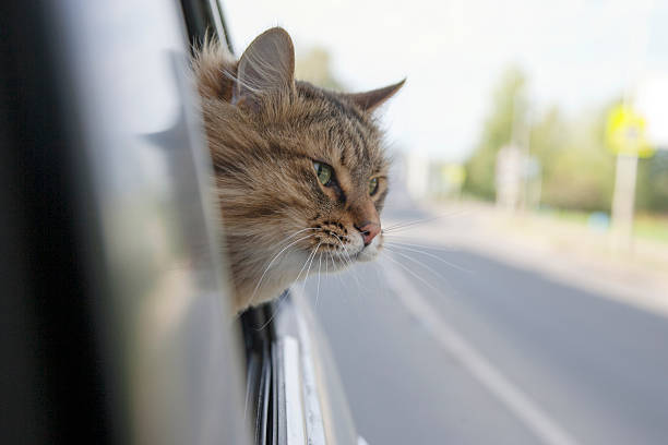 Head cat out of a car window in motion picture id496859826?b=1&k=6&m=496859826&s=612x612&w=0&h=ize5yujzrxrmgcatneb7hesguebyuowmv5xyyg6cbpw=