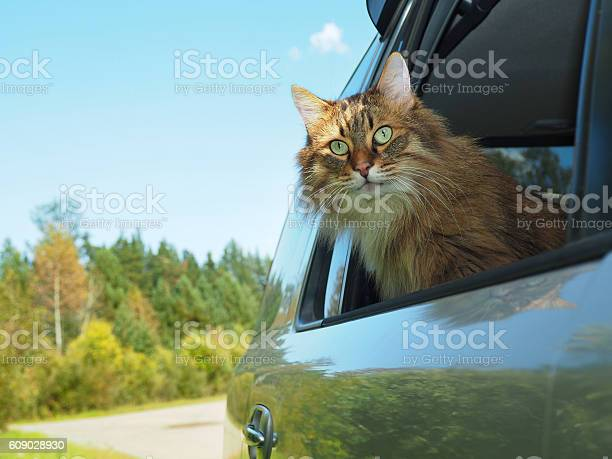 Head cat out of a car window in motion picture id609028930?b=1&k=6&m=609028930&s=612x612&h=hc3h3rys3bzvsa b4wym36o0mocuiwpnidgg7fltxzy=