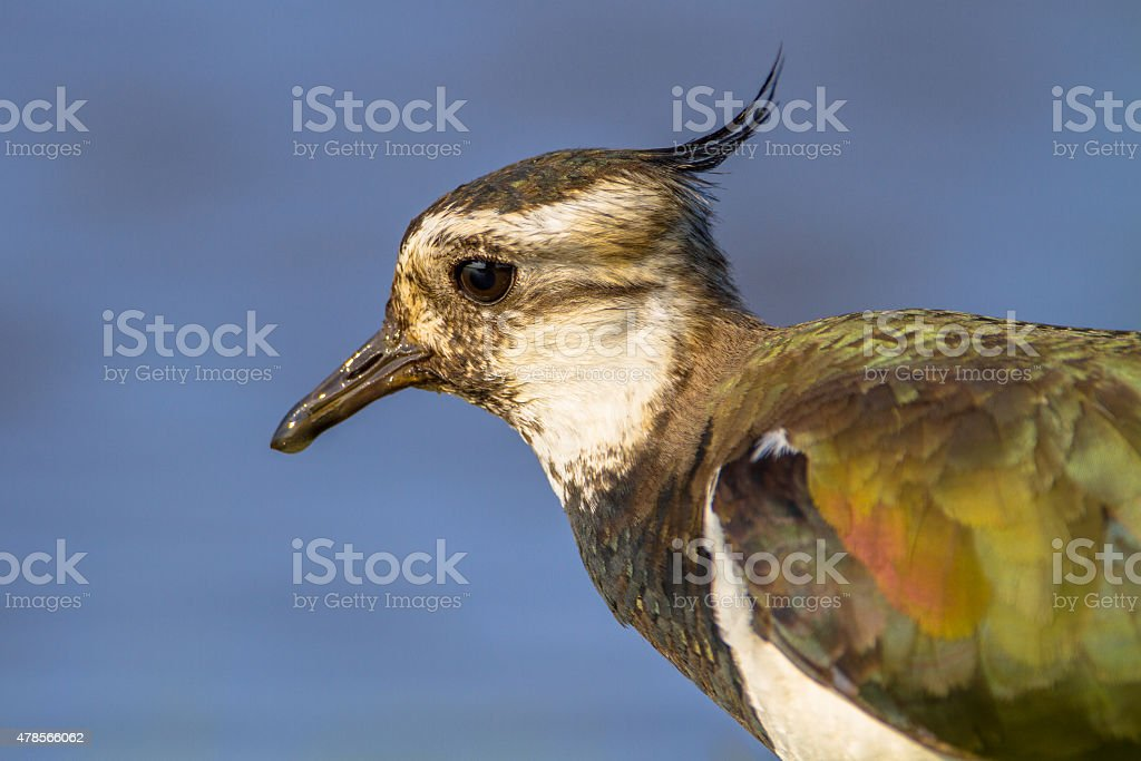 Head Close up Northern Lapwing stock photo