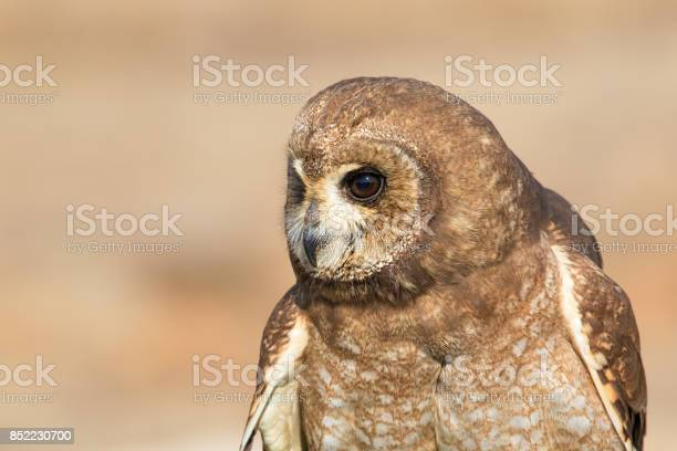 Head close up of an owl south africa picture id852230700?b=1&k=6&m=852230700&s=612x612&h=ysly8ylrrr74ygy16fid5bafs oiin6yp9h5xszzk08=