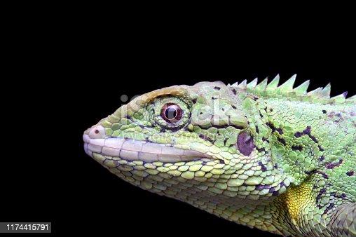 Head close-up of Mictopholis austeniana, Dafla Hills Agamid, a rare lizard from Eaglenest WLS, Arunachal Pradesh