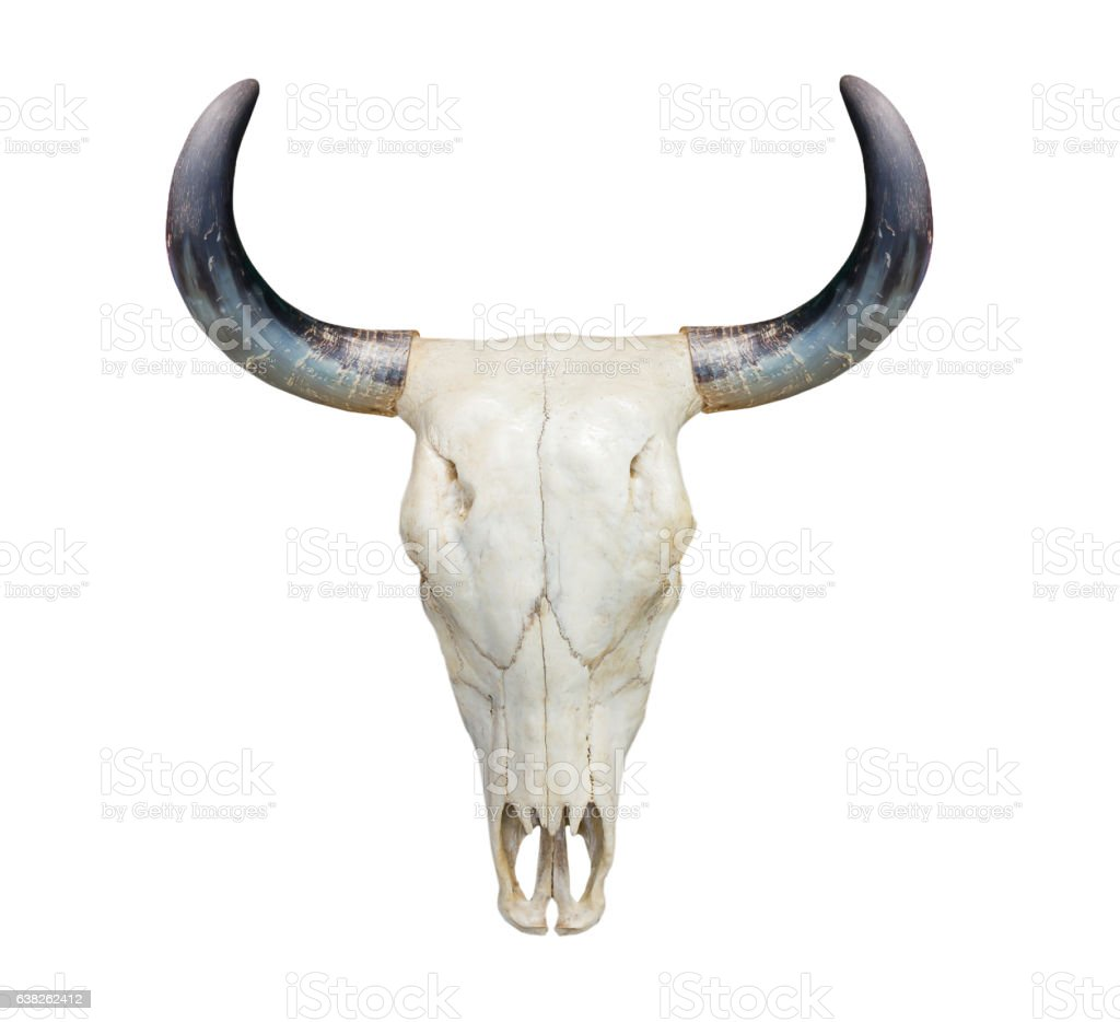 Head cow skull on white stock photo