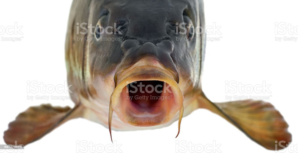 head fish big carp isolated on white background stock photo