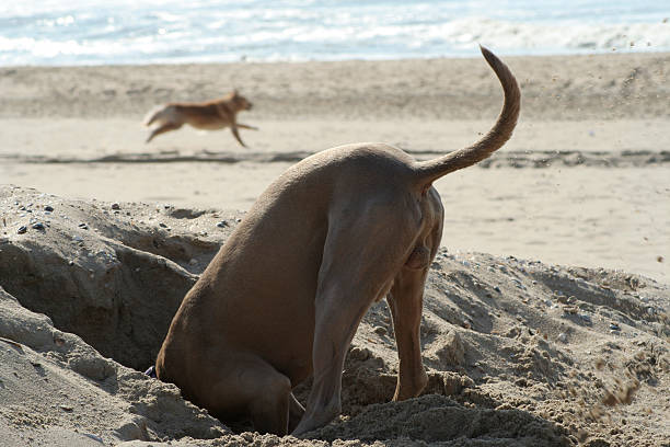 Head In The Sand  head in the sand stock pictures, royalty-free photos & images