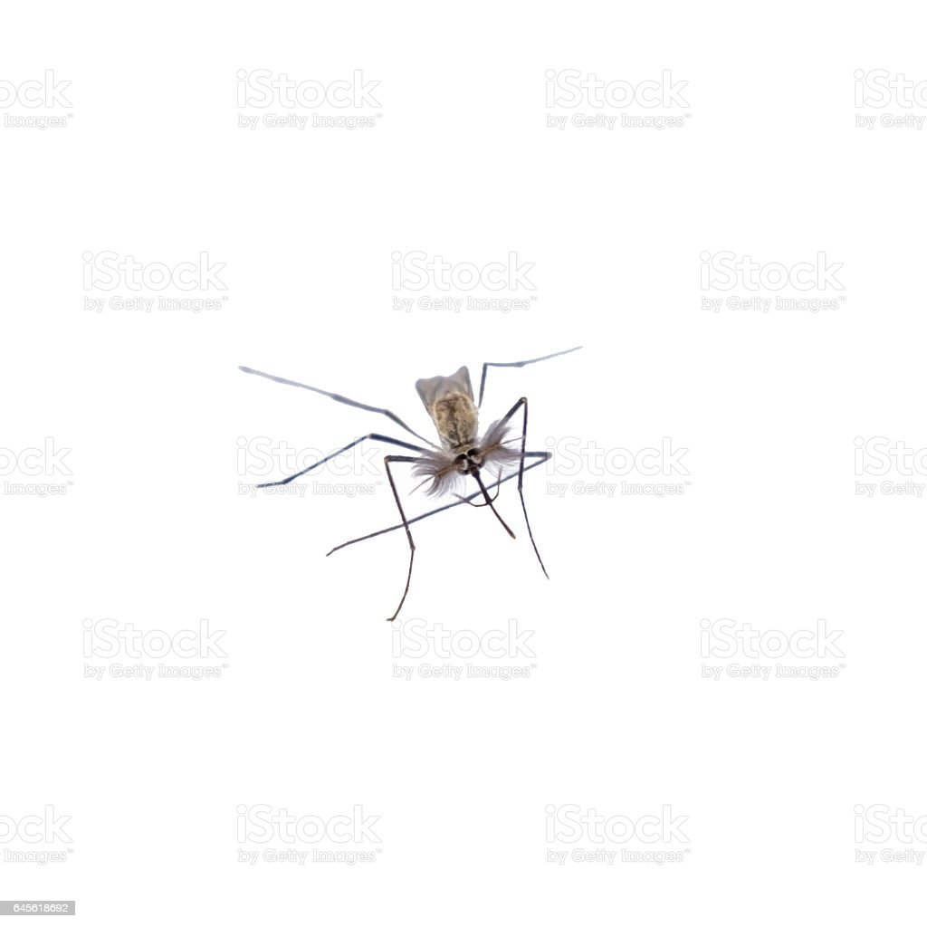 Head mosquito species aedes aegyti front stock photo