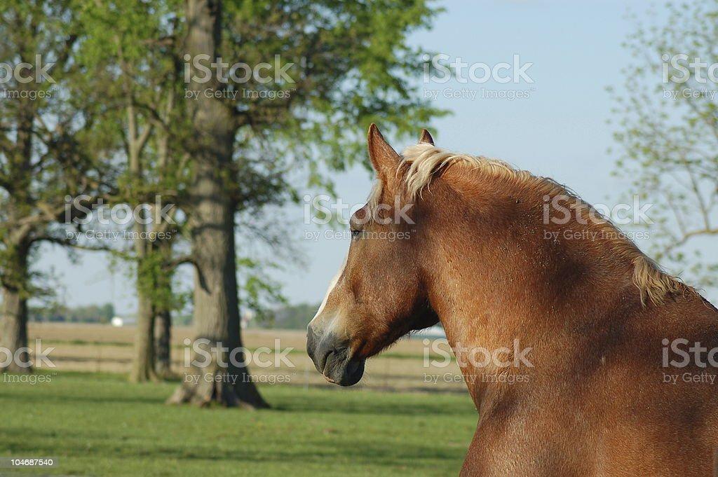Head, Neck & Shoulders of a Belgian Horse stock photo