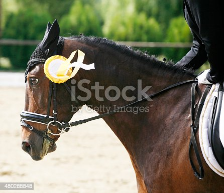 istock Head of a beautiful award-winning horse in the arena 480288848