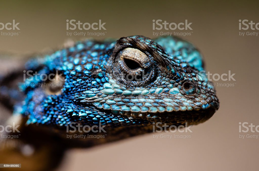 Head of a blue-headed agama stock photo