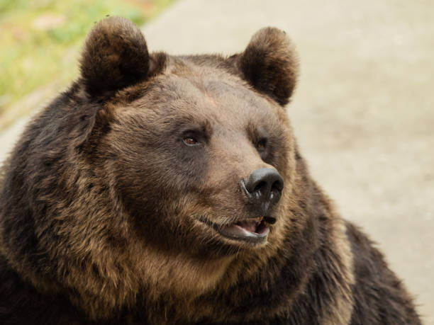 Head of a brown bear stock photo