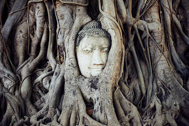 Head of a Buddha in the roots - foto stock