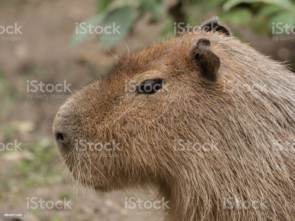 Head of a capybara stock photo
