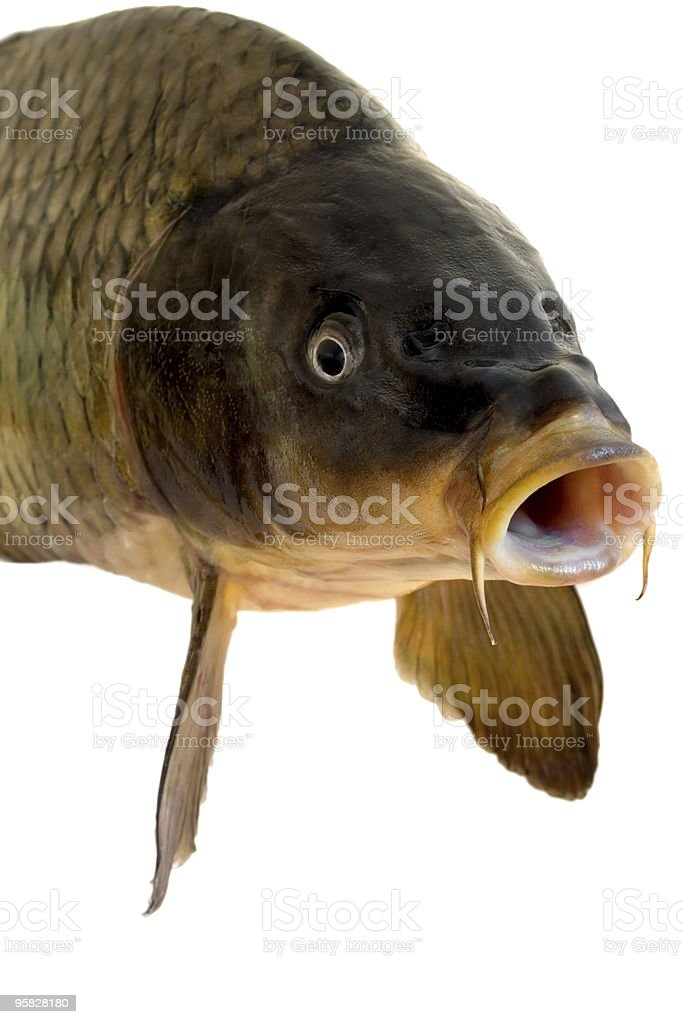 A head of a carp with a white background  stock photo