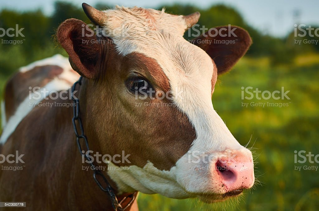 Head of a cow against a a summer pasture. – Foto