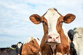 Face of a cow, cute and friendly expression, red and white standing amid a herd of cows