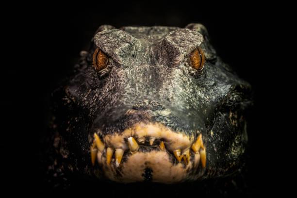 Kopf eines Krokodils (Paleosuchus Palpebrosus). Zwerg-Kaiman. – Foto
