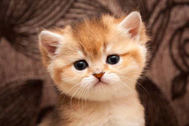 Head of a cute Golden ticked little British cat close-up stock photo