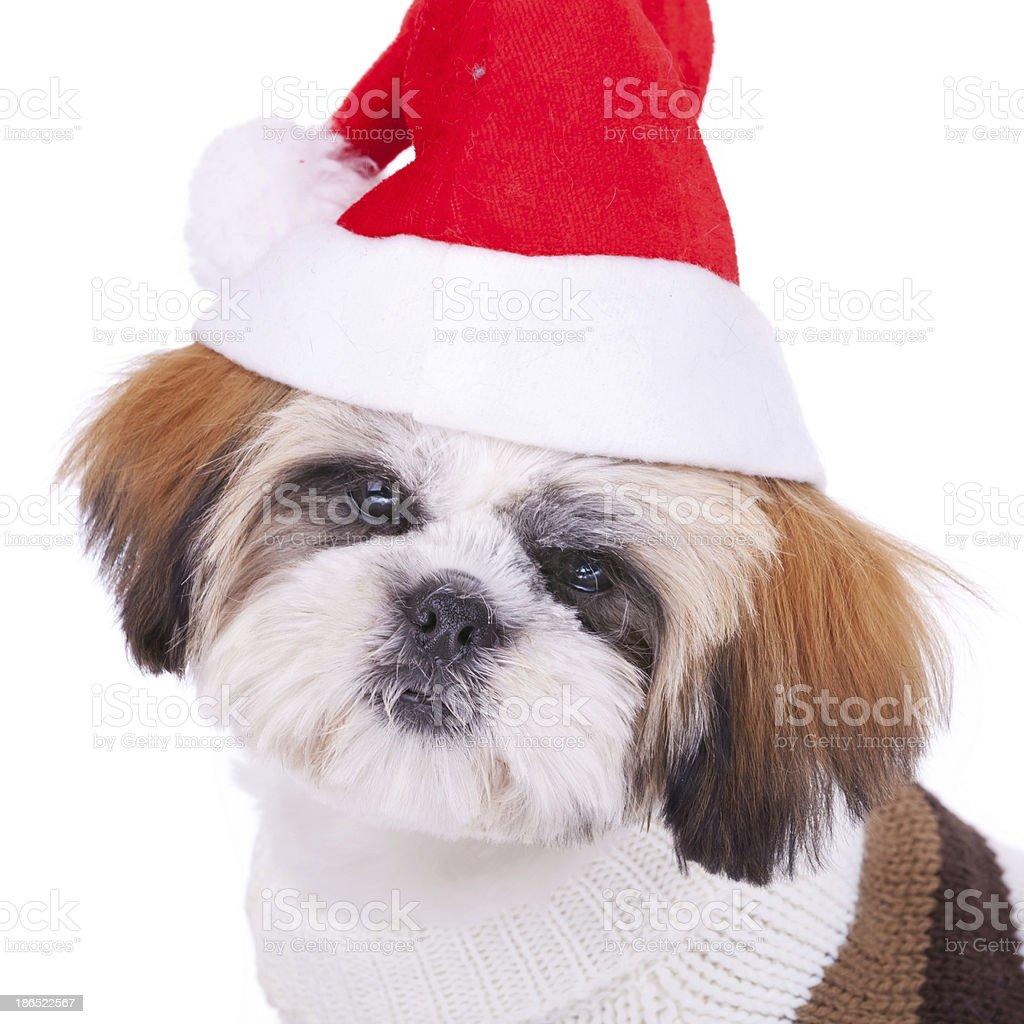 head of a cute shih tzu santa royalty-free stock photo
