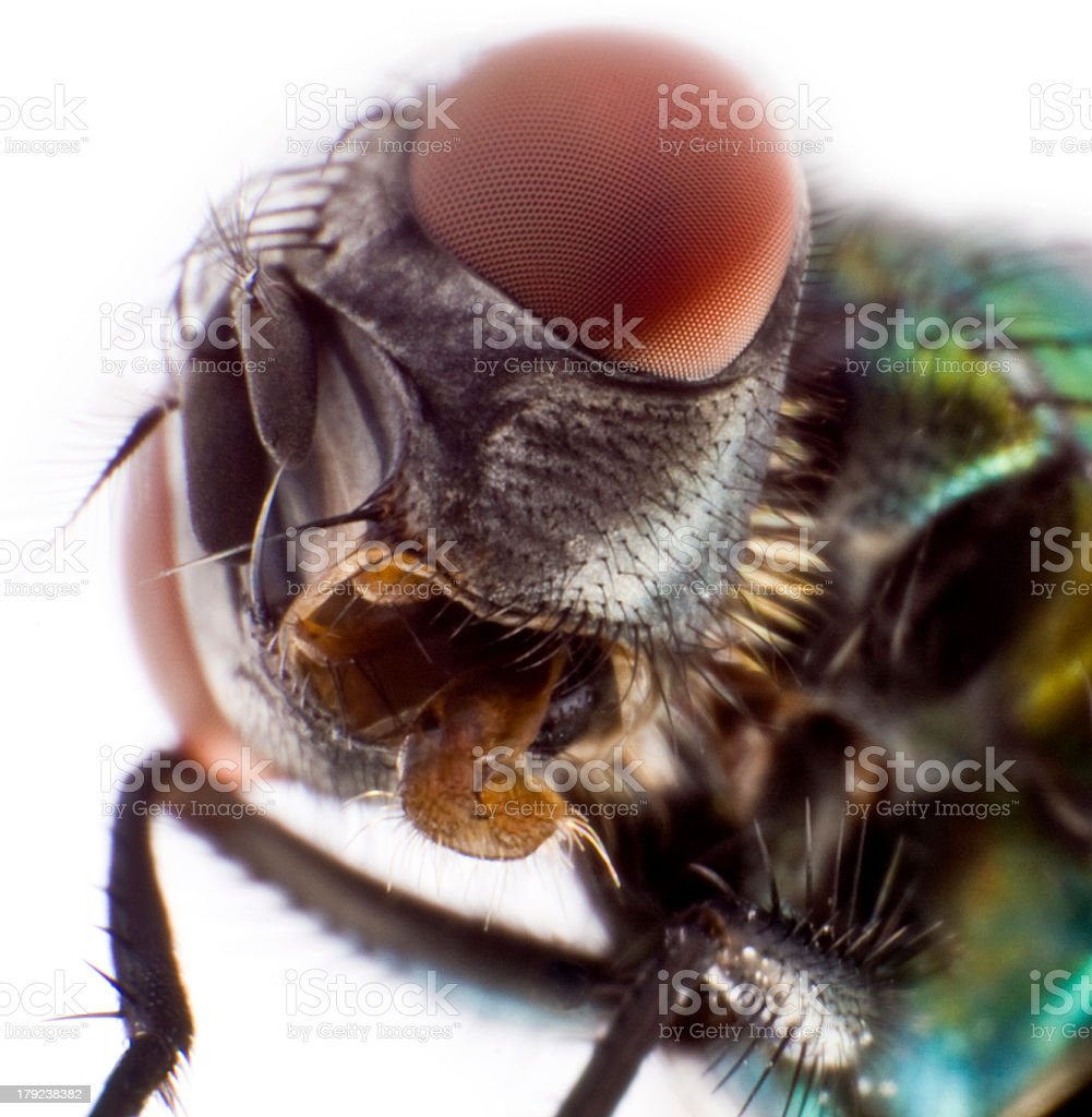 Head of a domestic fly stock photo