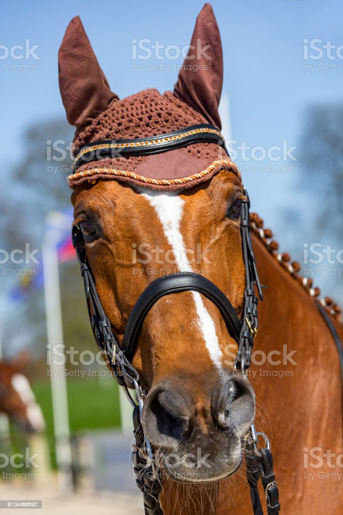 Head of a dressage horse wearing an anti-fly cap stock photo