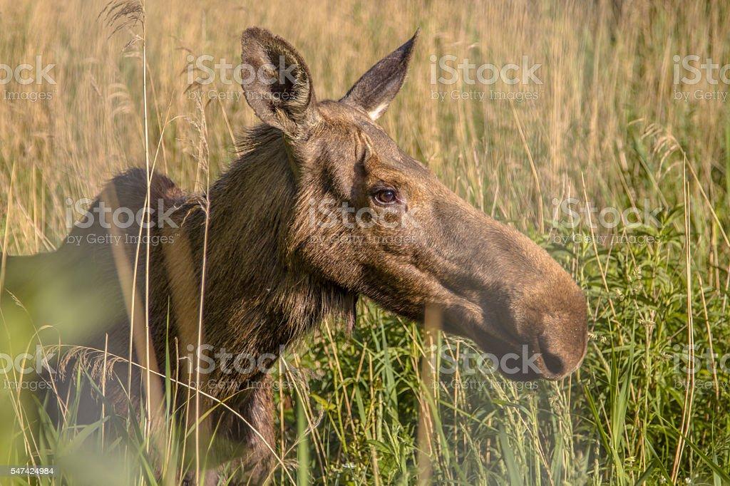 Head of a Female Moose stock photo