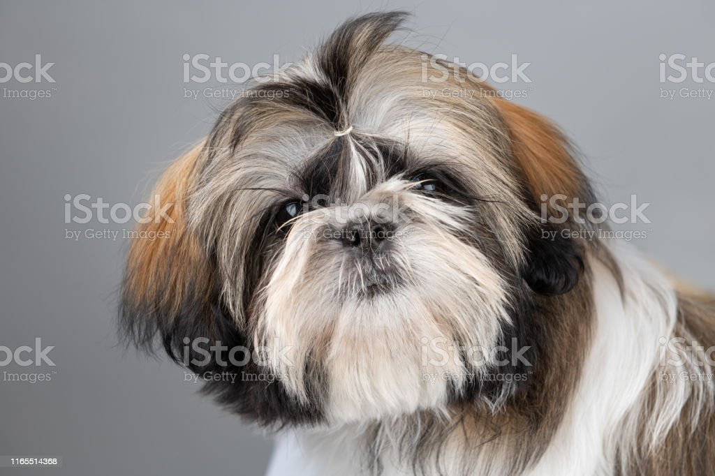 Head Of A Four Month Old Shih Tzu Puppy Stock Photo Download Image Now Istock