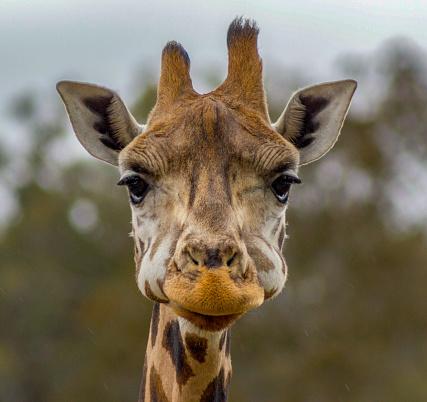 Head of a giraffe in a Zoo while eating, Australia