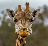 Head of a giraffe in a Zoo while eating, Australia