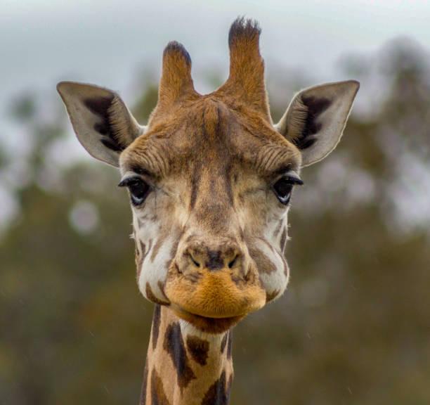 Head of a giraffe in a zoo picture id1212929661?b=1&k=6&m=1212929661&s=612x612&w=0&h=im3upgh35 8jz0fj8  tzr9uyac6dymrufjottcubgq=