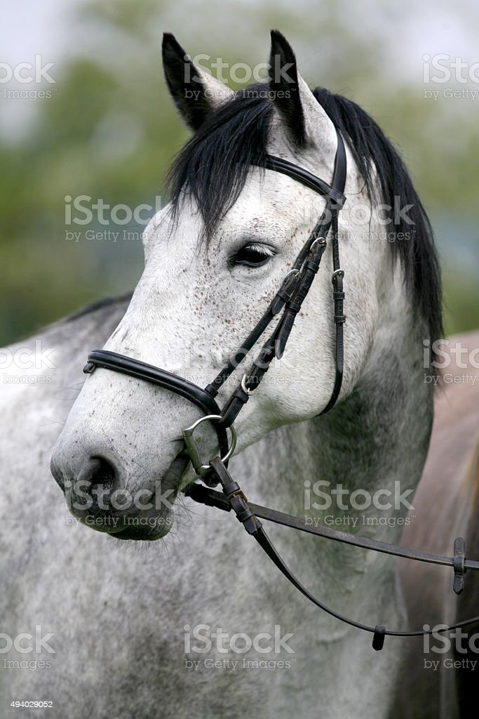 Head of a gray colored mare stock photo