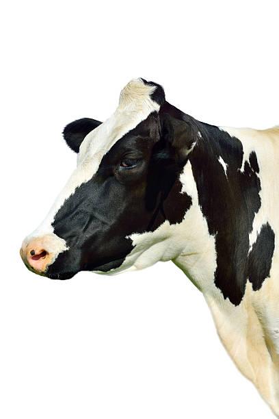 Testa di holstein cow. isolato. - foto stock