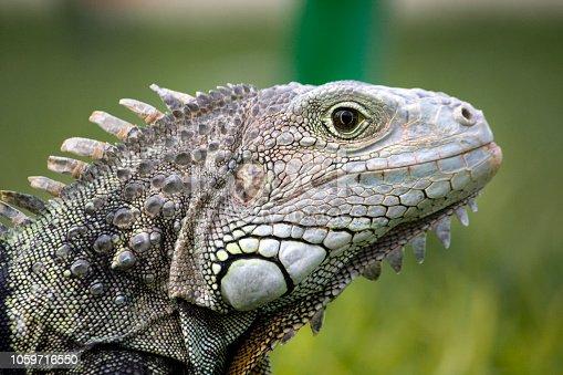 Close view of the head of a iguana lizard.