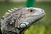 Close view of the head of a iguana lizard.