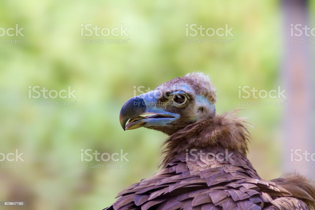 head of a large vulture bird stock photo