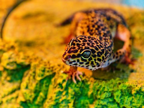 Close-up of a leopard gecko in a terrarium