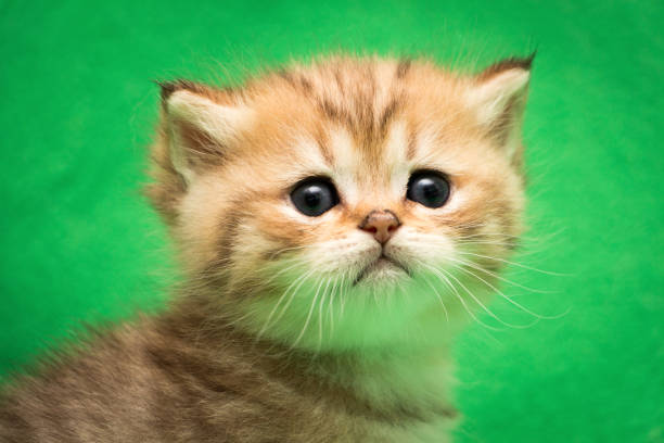 Head of a little Golden tabby British kitten stock photo