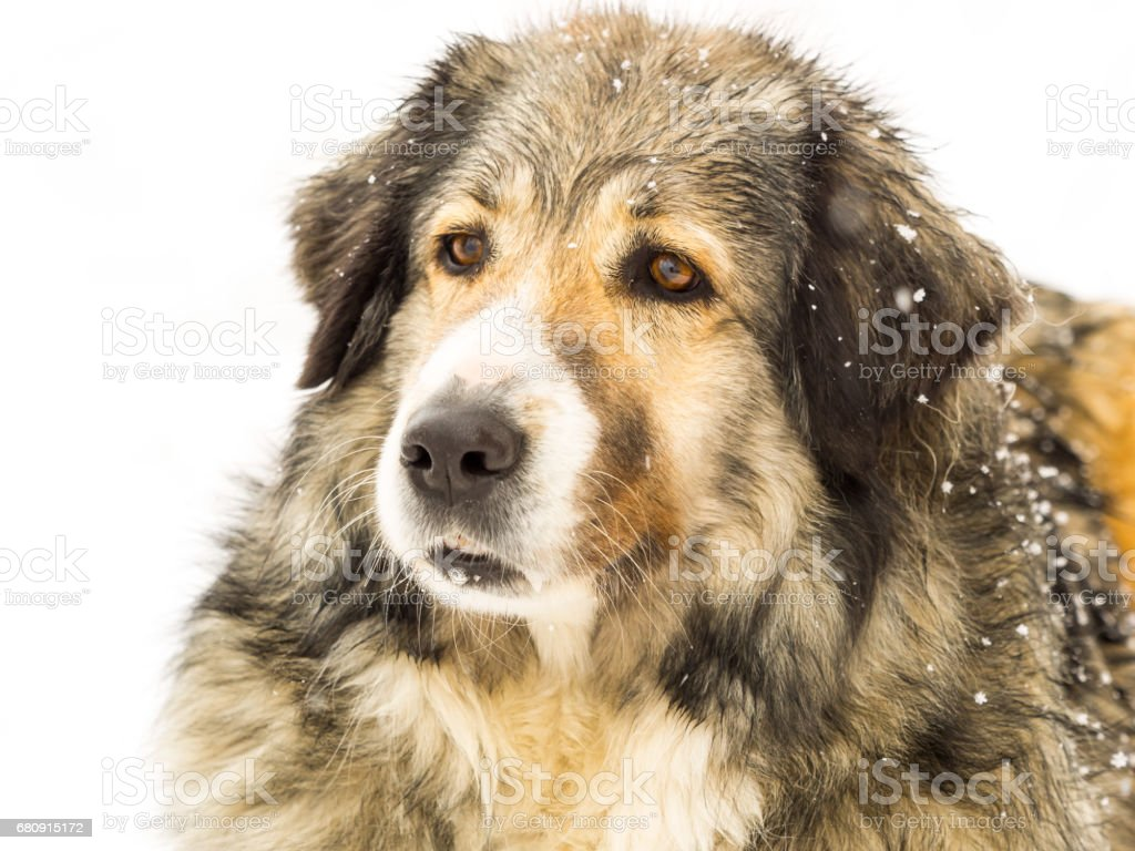 Head of a long haired dog in snow stock photo