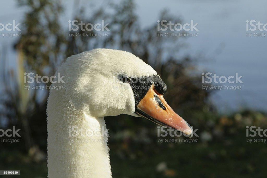 head of a mute swan royaltyfri bildbanksbilder
